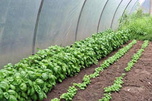 FERRY Keim Seeds: Basilikum, Kuchen und Genovese, Organisch, Non-GMO, 100Seeds pro Paket, Italienisch -