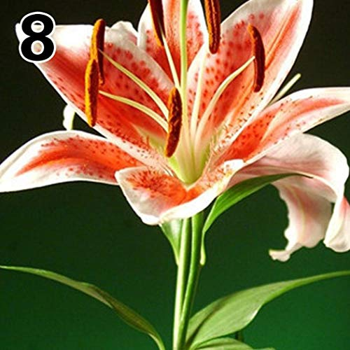 Kaimus 50pcs Lilien Samen Lilium Samen Bonsai Pflanzen Samen Blumensamen Saatgut mehrjährig winterhart Hybride Lilien Pflanzen