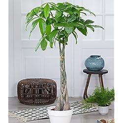 """Pachira""""Aquatica"""" ca. 100 cm hoch,1 Pflanze"""