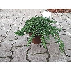 Baumschule Anding Japanischer Kriechwacholder - Juniperus procumbens - Nana - 15-20 cm