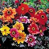 SeeKay Dahlia variabilis Bishops Children - 30 seeds - HH Perennial