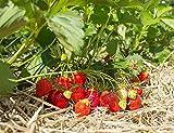 Erdbeerprofi - Erdbeere'Favori' - 20 Pflanzen - Frigo Erdbeerpflanzen - Immertragend - Erdbeersetzlinge - Erdbeerstecklinge