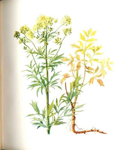 Perrin Ltd. Ed 1914 Blühende Pflanze der Wiesenraute