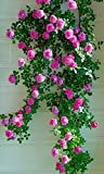 #10: M-Tech Gardens Rare Grafted Pink Queen Climbing Rose Perinnial Flower 1 Healthy Live Plant