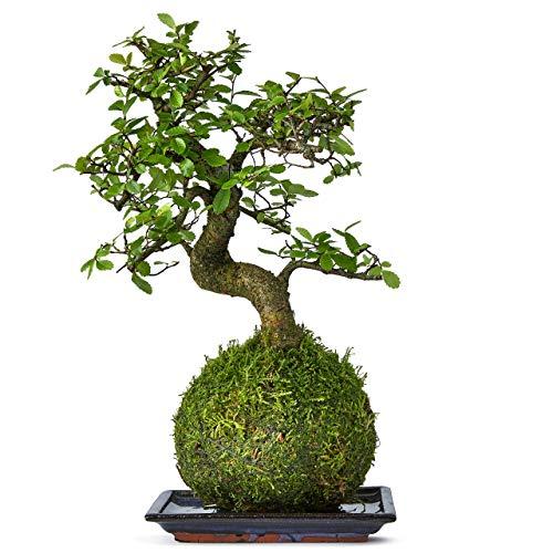 Bonsai Tree House And Desktop Pl...