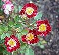 """Zwergrose """"Little Artist ®"""" von Agel Rosen - Du und dein Garten"""