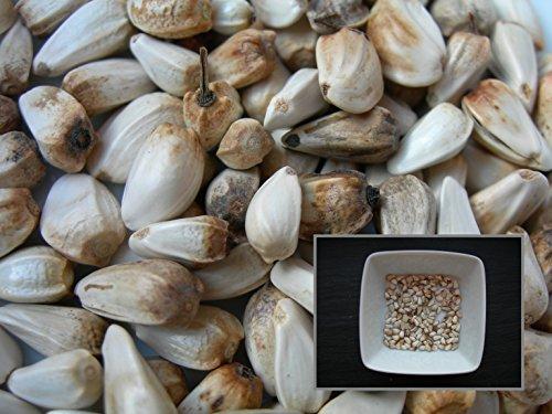 carthame-des-teinturiers-10-graines-carthamus-tinctorius-safflower