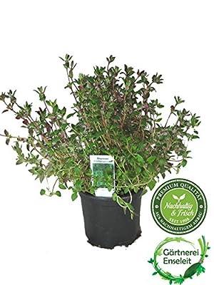 Thymian Pflanze, aus Nachhaltigem Anbau, Marktfrische Qualität aus der Gärtnerei ! von Weseler Kräuterparadies - Du und dein Garten