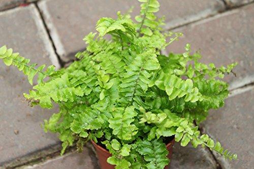 Zimmerpflanze – Nephrolepsis – Boston-Farn – Buschige Zimmerpflanze, ca. 45cm hoch - 3