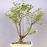 Bonsai - Flieder, Syringa japonica 189/37