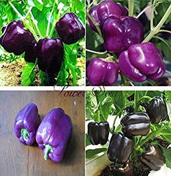 . peperoni viola, colori peperone, semi di ortaggi peperone dolce organici -100 particelle seed