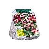 5 Knollen Cyclaam gemischt / Alpenveilchen / Blumenzwiebel