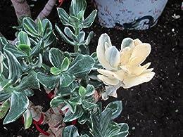 Jade plant: Crassula ovata (English Edition) eBook: Maya