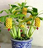 Yellow : Mix Color Elongated Potted Banana Seeds High-nutrition Fruits Original Package About 100 Pcs Bonsai Semente Fruit-tree-seeds
