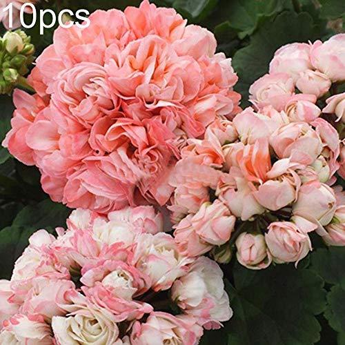happyhouse009 Pelargonium Samen Multi-Petal Geranie Blume für Garten Dekro -