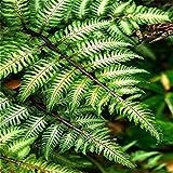 Vistaric 100pcs Giardino Fern Seeds Rare Creeper Vines Grass Seed Piante Arcobaleno Misto Fogliame Per Pianta Bonsai 2017 Nuovo Sementes Vendita. Profondo blu