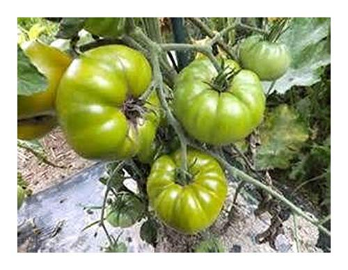 Tomate Tasty Evergreen - tomate verte - 20 graines