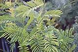 Mimosa Pudica Pianta di Mimosa Pudica in vaso - 3 Piante in Vaso 7x7