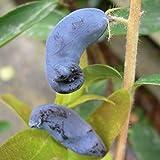 Grüner Garten Shop Sibirische Blaubeere, Lonicera Kamtschatica Atut, vitaminreich, ca. 40-60 cm im 3-5 Liter Topf