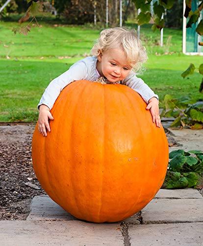tät Riesen-Kürbis 'Atlantic Giant' 40-80 Kilo Gemüse Samen 20pcs Saatgut Bio winterhart mehrjährig zum Schnitzen von Masken für Halloween Laternen ()