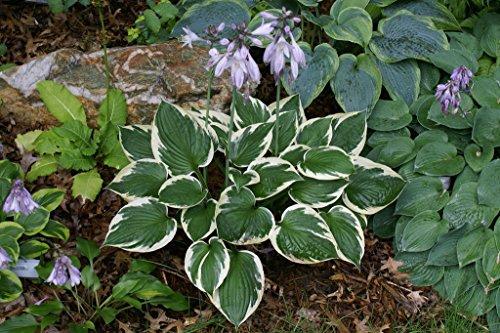 plat firm germinazione dei semi: minuteman hosta sport di franciae liliacea heavy perenne 1 quart pot - 1 pianta