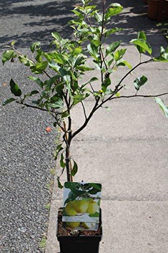 arbol-frutal-enano-para-patio-manzana-variedad-golden-delicious-aprox-75-cm-de-alto-