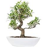 The Bonsai Plants Beautiful S Shape Ficus Bonsai Plant