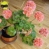 Fash Lady 5 PCS & # 39; Bonsai & # 39; Ball-Arten Orange Geranium mehrjährige Blumen, Heirloom Garden Pelargonium hortorum