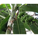 Musa acuminata - Bananier nain - 10 graines