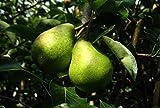Birnenbaum Williams Christ LH 160-180 cm, Birnen gold-gelb, Halbstamm, stark wachsend, im Topf, Obstbaum winterhart, Pyrus communis