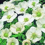 50 x Anemone The Bride - Blanc