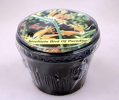 Strelitzia Paradiesvogelblume von Heim & Büro bei Du und dein Garten