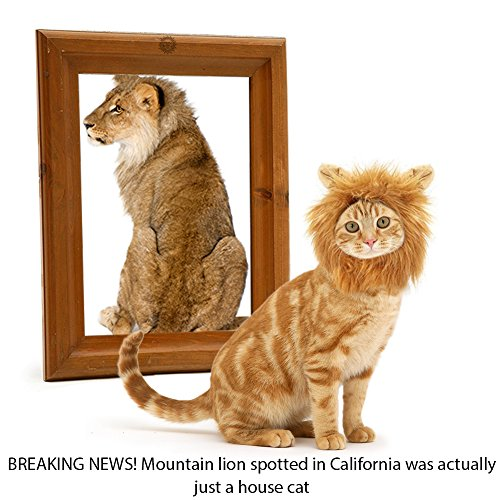 sungrow-cat-lion-mane-breaking-news-mountain-lion-spotted-in-california-was-actually-just-a-house-ca