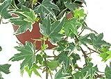 Hedera helix 'White Ripple'- Efeu - echte Pflanze im 13 cm Topf als Hängepflanze, Bodendecker oder Zimmerpflanze