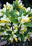9cm Pot Polygala Chamaebuxus Dolmite Colourful Groundcover Shrub White Yellow Flowers
