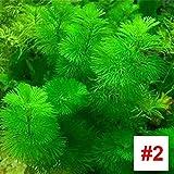 SSXY Semillas de Plantas acuáticas, Acuario, Tanque de Peces, Agua, Hierba,