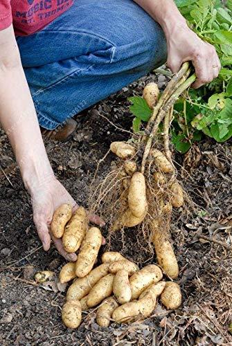 Portal Cool Banana russe Fingerling de pommes de terre semences Graines bio Légumes Fruits doux Healt