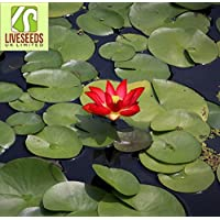 Liveseeds - Mini Yimeng rojo Bonsai Lotus/Flor de Nenúfar/5 Semillas Frescas