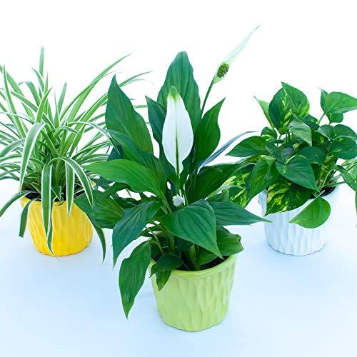 tris piante purifica aria: potos, clorofitum, spatifillum, 3 piante depura aria, piante vere
