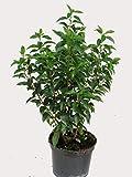 Prunus lusitanica 'Angustifolia' - Portugiesischer Kirschlorbeer - winterharter, immergrüner Strauch - Kübelpflanze, Gartenpflanze, Hecke Sichtschutz 50 cm hoch
