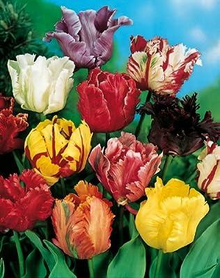 15 Rokoko-Tulpen gfranst rot blühend, Zwiebelgröße 10/11 von Landgard Blumen & Pflanzen auf Du und dein Garten