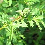 Pinpinelle, Gartenpimpinelle - Sanguisorba minor (100 Samen)