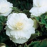 6 x Bégonia Blanc à Grandes Fleurs Doubles- Bulbes d'Eté