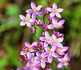 Tausendgüldenkraut Centaurium erythraea 1000 Samen