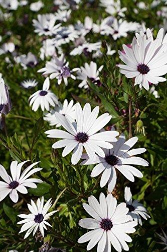 Weiß Cape Daisy, African Daisy Samen - Kapkörbchen ECKLONIS