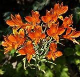 Plant World Seeds - Alstroemeria Ligtu 'Simsii' Seeds