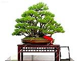 60pcs / bag Nano Pino Seed Esotico perenne Pinus Bonsai in vaso giardino ornamentale impianto per Flower Pot Fioriere