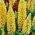 Lupine, Lupinus polyphyllus ´Kronleuchter´ von VDG-Stauden - Du und dein Garten