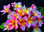 Rougline Hybrid Fragrant Plumeria Well Rooted Plant 7-12,Very Rare Plumeria/ Frangipani Plants Imported From Thailand. Very Fragrant,Colourful,A Hybrid. Plumeria Are Some Of Most Exotic And Beautiful Plants,Widely Known As Frangipani. Easy To Grow,T...
