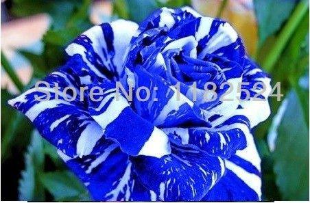 200-semi-rare-striscia-blu-rosa-semina-semi-bonsai-pianta-fiore-
